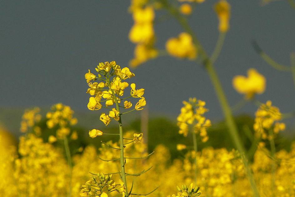 """Brassica juncea wild mustard"" by Petr Pakandl / Wikipedia"