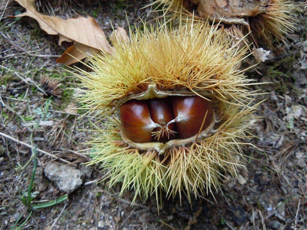 Chestnuts | photo by Alexandra Korey
