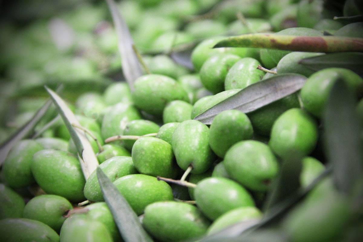 Dievole's olives