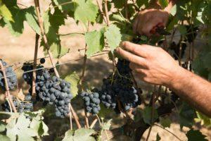 Tradizione e innovazione nella produzione del vino di Dievole