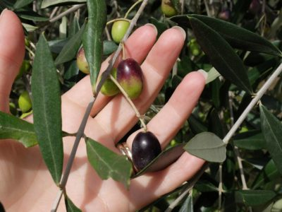Almost ripe olives on the tree
