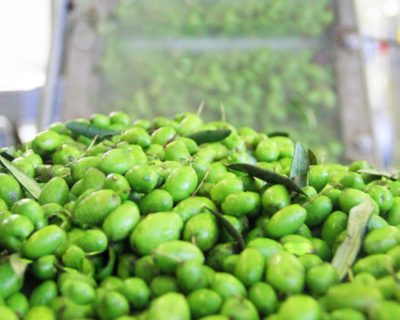 Olives in the mill at Dievole