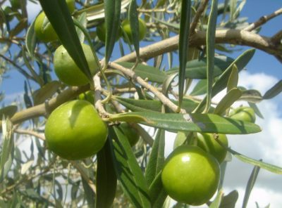 Nocellara olives: why to choose this olive oil