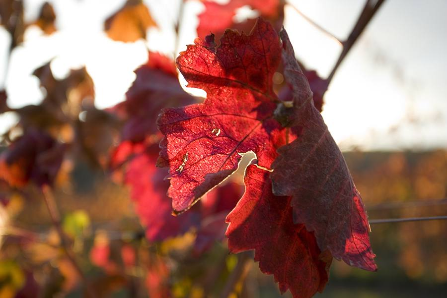 These enchanting red leaves remind us of wine! What do you think?