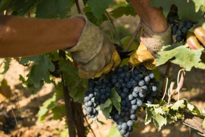 Red wine types: when does the harvest start in Italy?