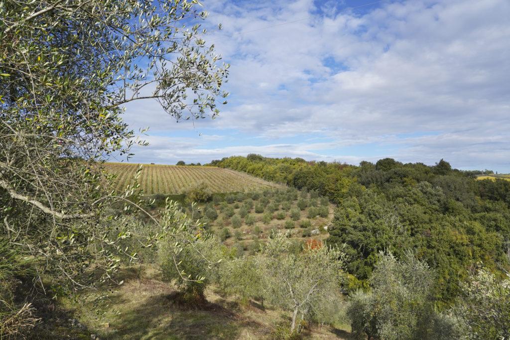 L'oliveta a Catignano