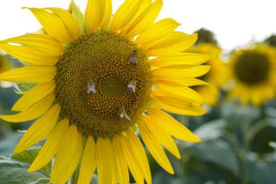 Le api, amiche della biodiversità e dell'ambiente
